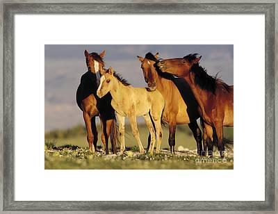 Mustang  Family Band Montana Framed Print by Yva Momatiuk John Eastcott