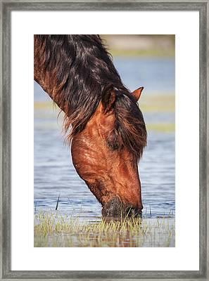 Mustang Feeding In The Marsh Framed Print