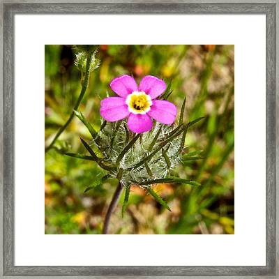 Mustang Lianthus In Park Sierra-ca Framed Print by Ruth Hager