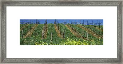 Mustard And Vine Crop In The Vineyard Framed Print by Panoramic Images