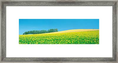 Mustard Field With Blue Sky Framed Print by Panoramic Images