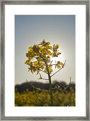Mustard Flower In The Sun Framed Print by Joel Moranton