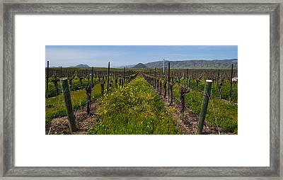 Mustard Plants Growing In A Vineyard Framed Print by Panoramic Images