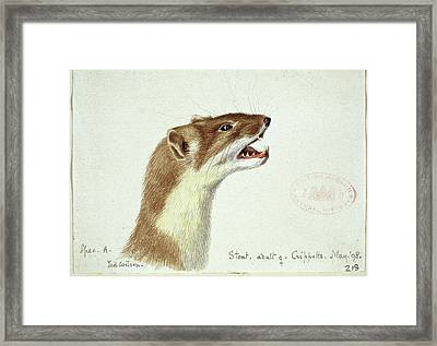 Mustela Erminea Framed Print by Natural History Museum, London