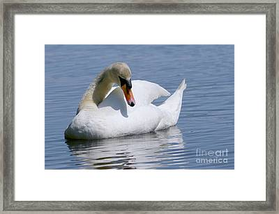 Mute Swan 1 Framed Print by Sharon Talson