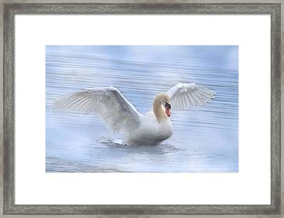 Mute Swan Framed Print by Angie Vogel