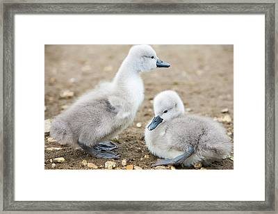 Mute Swan (cygnus Olor) Cygnets Framed Print by Ashley Cooper