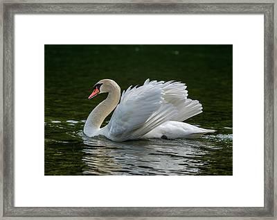 Mute Swan Cygnus Olor Displaying Framed Print