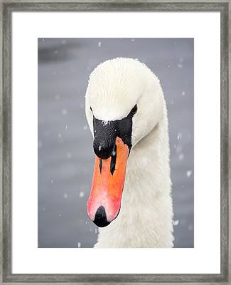Mute Swan (cygnus Olor) In The Snow Framed Print