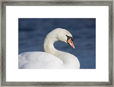 Mute Swan Elmley Marshes Framed Print
