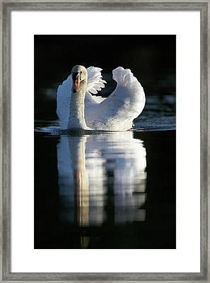 Mute Swan On Water Framed Print
