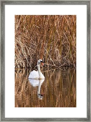 Mute Swan Reflection Framed Print