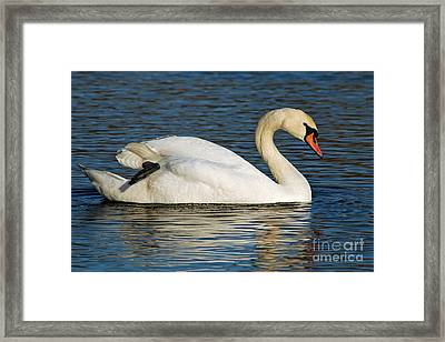 Framed Print featuring the photograph Mute Swan Resting by Olivia Hardwicke