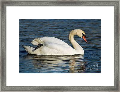 Mute Swan Resting Framed Print by Olivia Hardwicke