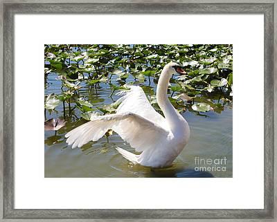 Mute Swan Wings Framed Print