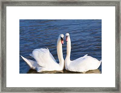 Mute Swans 2 Framed Print