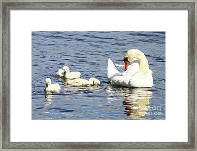 Framed Print featuring the photograph Mute Swans by Alyce Taylor