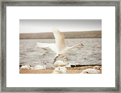 Mute Swans At The Abbotsbury Swannery Framed Print by Ashley Cooper