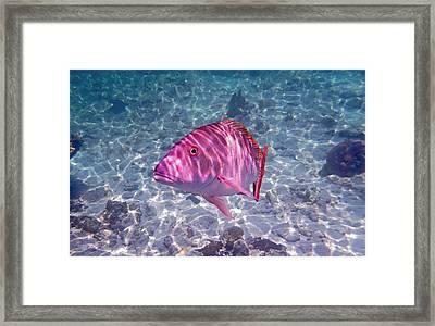 Mutton Encounter Framed Print by Carey Chen