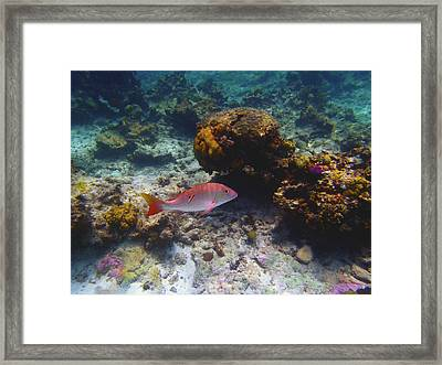 Mutton Snapper Framed Print by Carey Chen