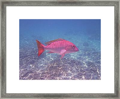 Mutton Snapper Profile Framed Print by Carey Chen