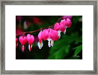 Framed Print featuring the photograph My Bleeding Heart by Davandra Cribbie