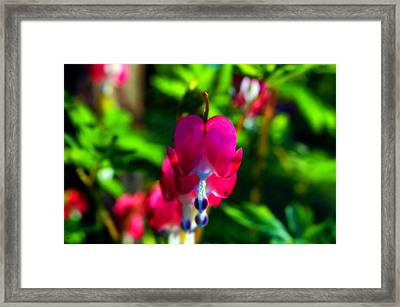 Framed Print featuring the photograph My Bleeding Heart by Peggy Franz