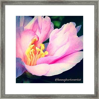 My Camellias Are Blooming Framed Print