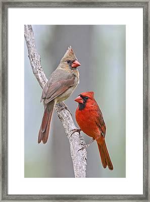 My Cardinal Neighbors Framed Print