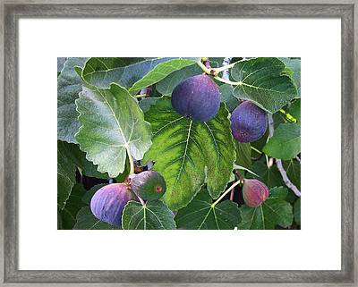 My Fig Tree Framed Print by Charlette Miller
