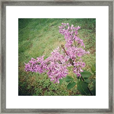 My Lilac Is Blooming. It's Not Exactly Framed Print