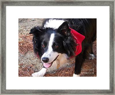 Framed Print featuring the photograph Female Border Collie by Eunice Miller