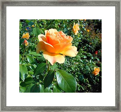 My Love Is Like A Rose Framed Print by Kay Gilley