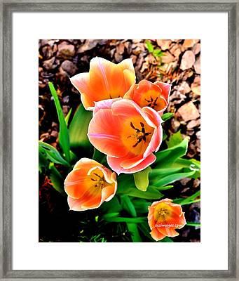 My Mom's Tulips Framed Print