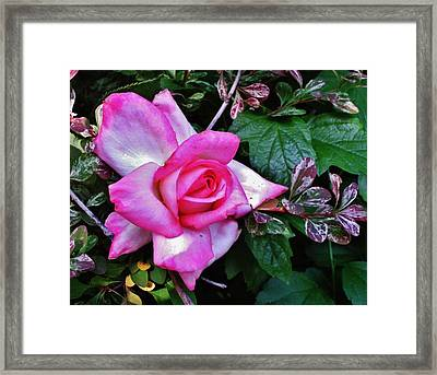 Framed Print featuring the photograph My Perfect Tea Rose by VLee Watson