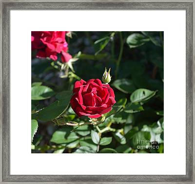 My Red Rose Framed Print by Alys Caviness-Gober