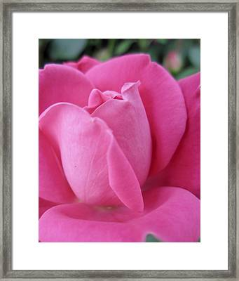 My Rose Framed Print