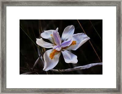 My Wild Iris Rose Too Framed Print by Debbie May
