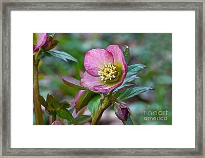 My Wild Xmas Rose Framed Print by Byron Varvarigos