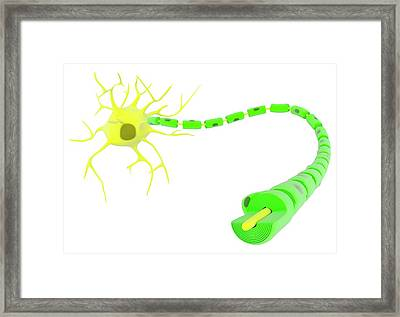 Myelinated Neuron Anatomy Framed Print by Science Photo Library