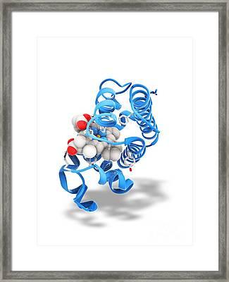 Myoglobin Molecule Framed Print