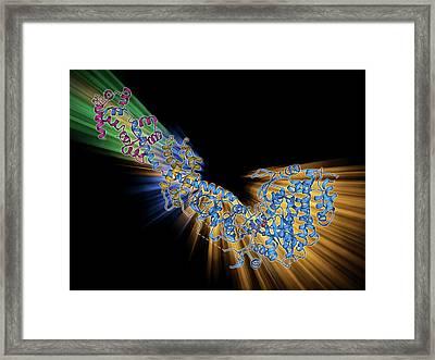 Myosin Fragment Molecule Framed Print
