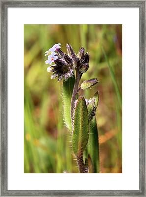 Myosotis Discolor In Flower Framed Print