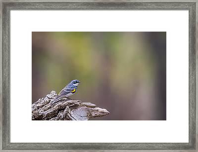 Myrtle Warbler Framed Print