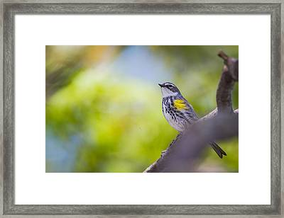 Myrtle Warbler In Tree Framed Print