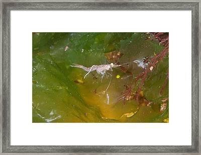 Mysid Shrimp Framed Print by Andrew J. Martinez