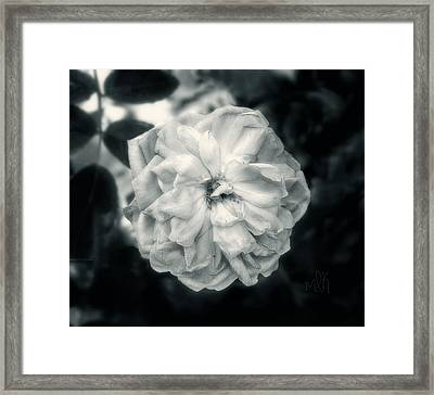Framed Print featuring the photograph Marie-louise Rose by Louise Kumpf