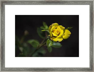 Mystic Yellow Rose Framed Print by Christina Rollo