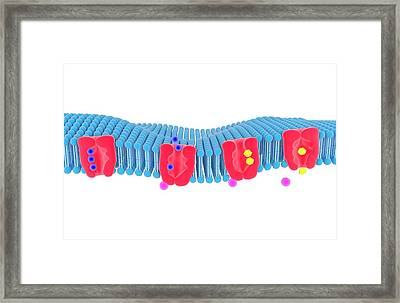Na-k Membrane Ion Pump Framed Print by Science Photo Library