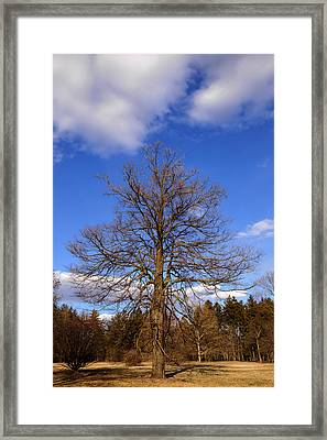 Naked Oak In Early Spring Framed Print by Ed Cilley